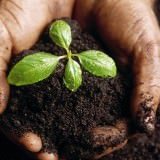 Picture of Hands Holding a Plant Growing in Dark, Rich Soil